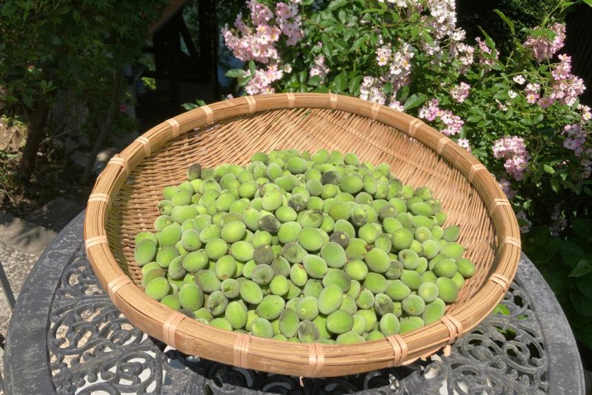 梅の実を収穫