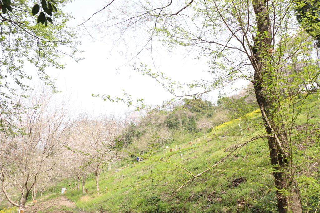 水明台エドヒガンの森 南エリアのサクラと菜花の斜面