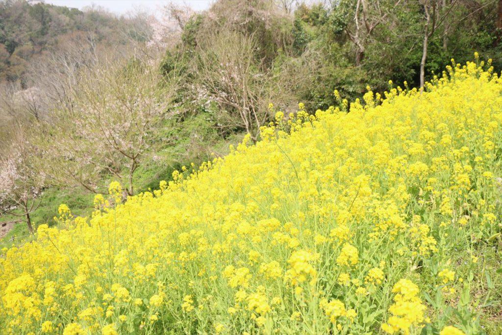 水明台エドヒガンの森 菜の花